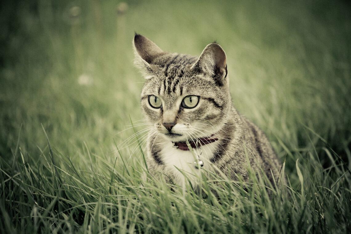 Cat stalking her prey