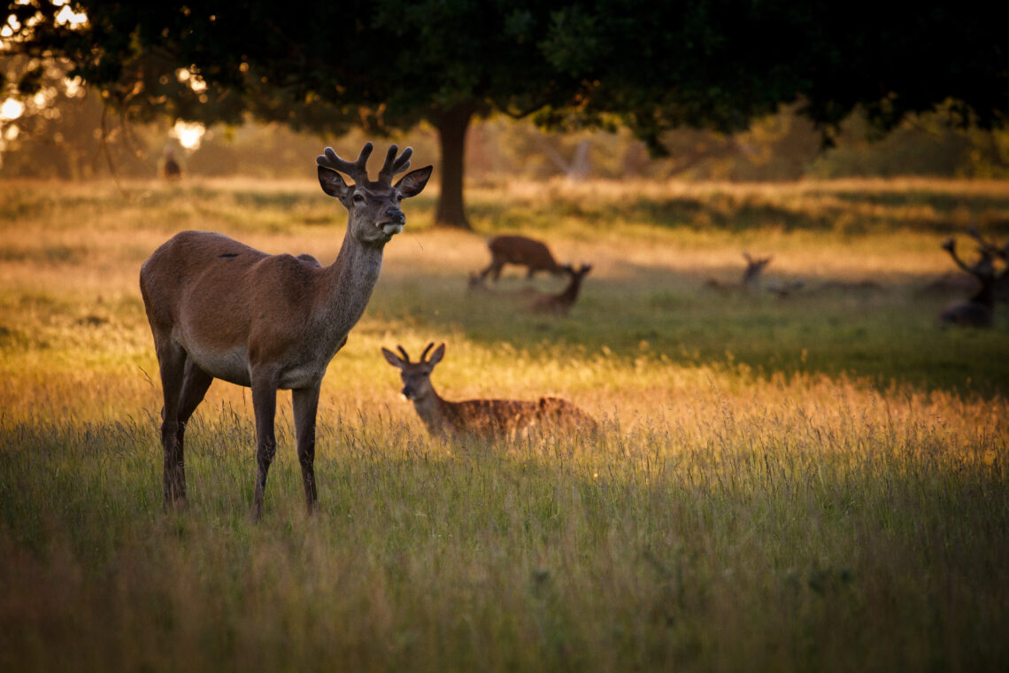 Deer at sunset in Richmond Park