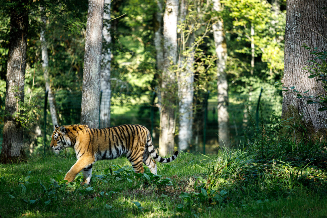 Tiger at Longleat