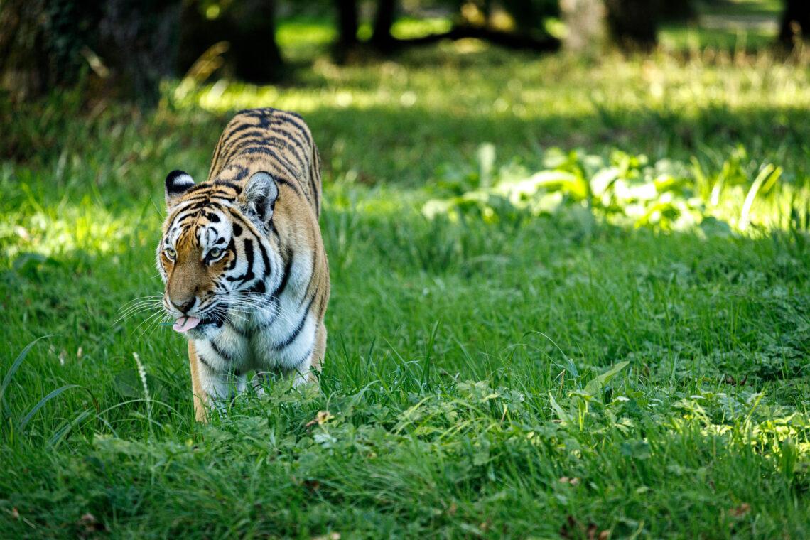 Tiger at Longleat
