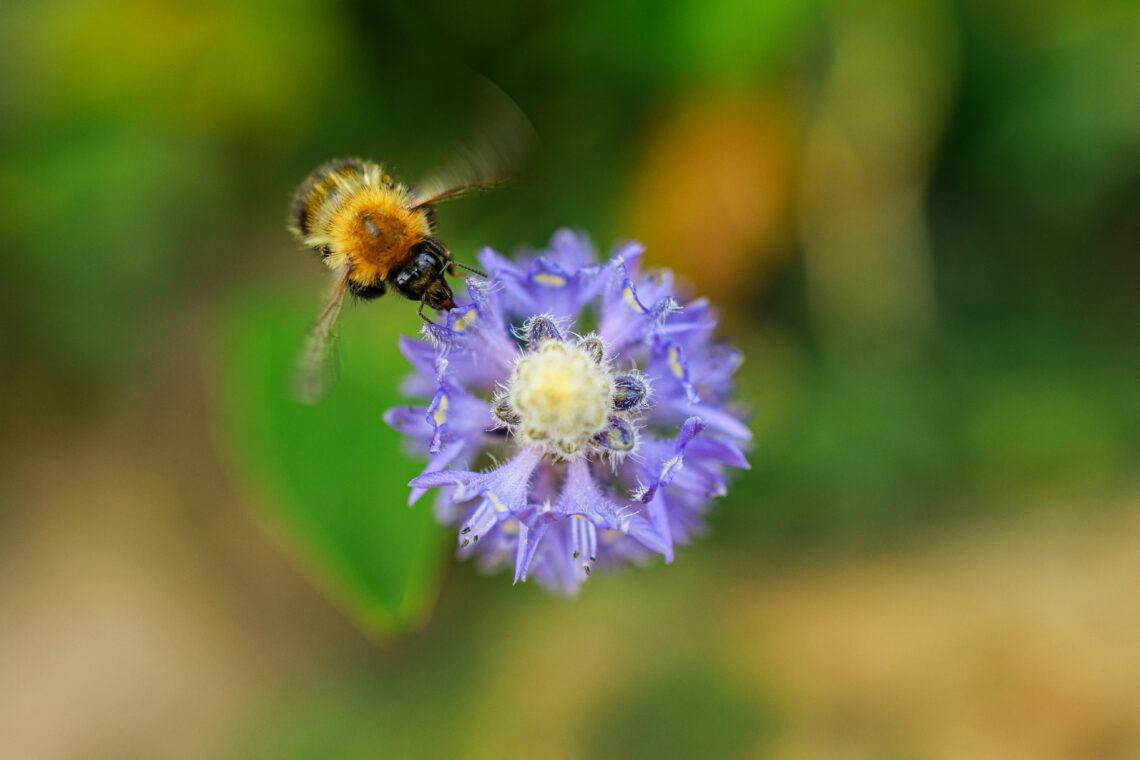 Wisley Gardens Bee