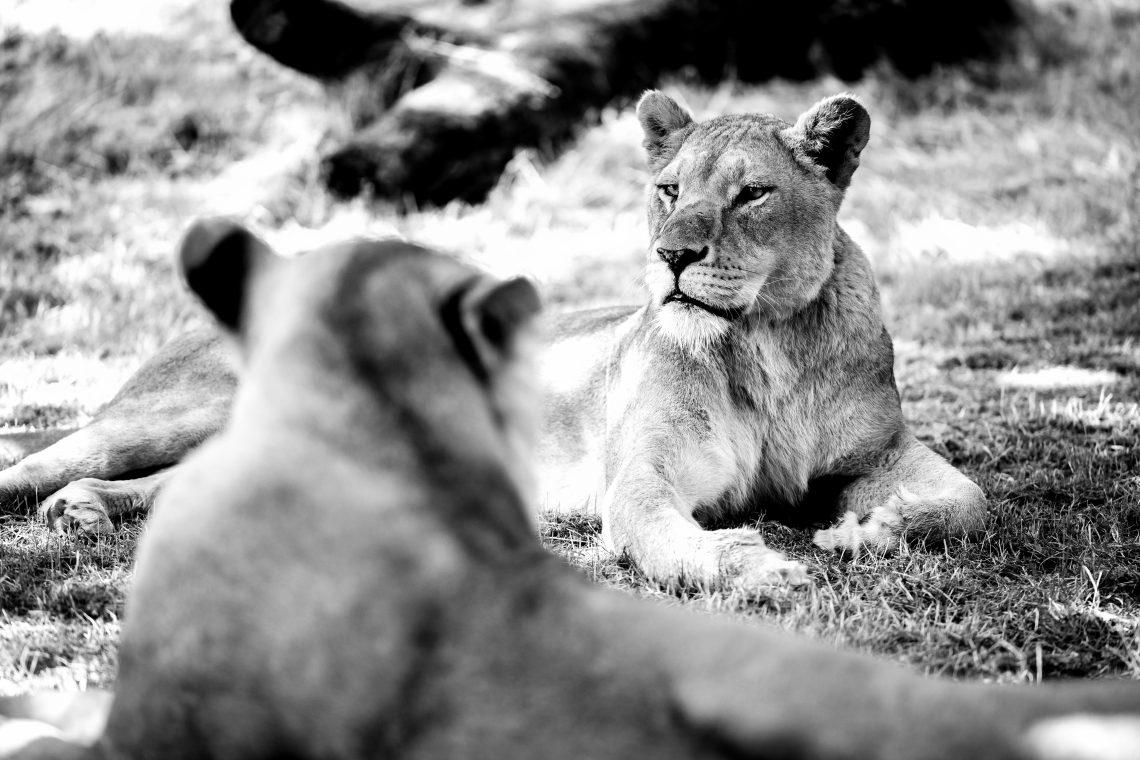 Longleat Safari Park Lion