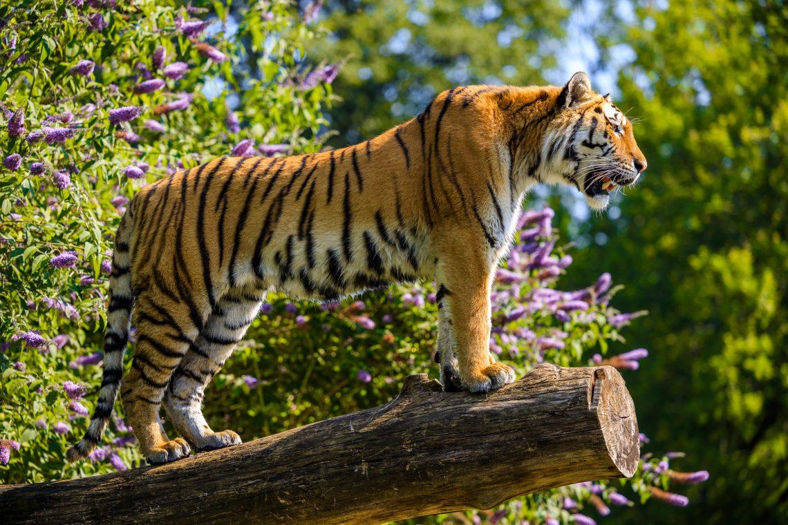Longleat Safari Park Tiger