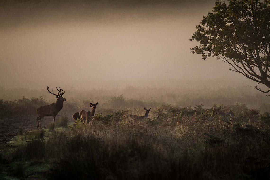Deer in Richmond Park at Sunrise