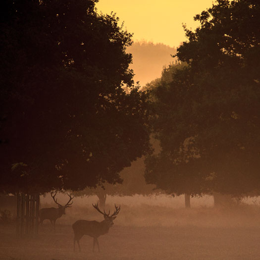 Deer Richmond Park, I've Mist You